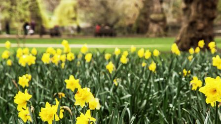 The nodding heads of daffodils are a cheerful sight on a grey day early in the year