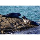 Two seals in the sun on rocks off Torquay