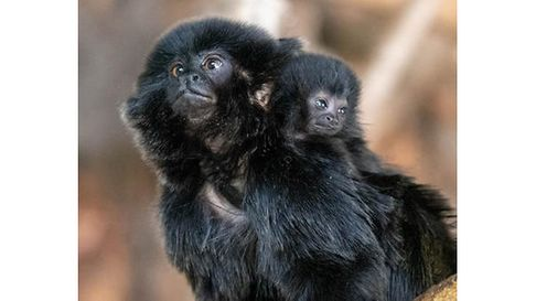 Picture of zoo monkey and new-born baby