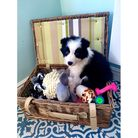 Storm the border collie puppy from Martlesham Heath in a basket