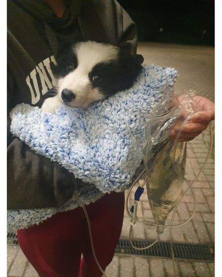 Storm the border collie puppy is receiving specialist vet treatment