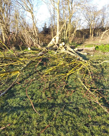A horse chestnut tree in Southtown Common after it was felled by Great Yarmouth Borough Council.