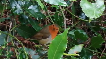 Rodney the robin regularly says hello to Dan