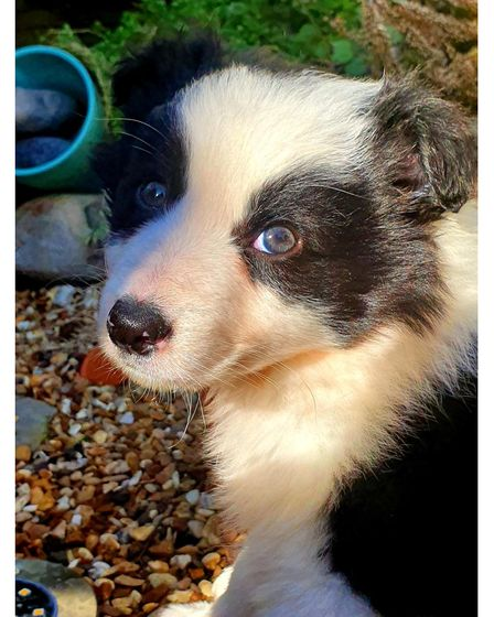 Storm the border collie puppy, who has sadly passed away from parvovirus