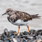 A Turnstone walking along the waters edge
