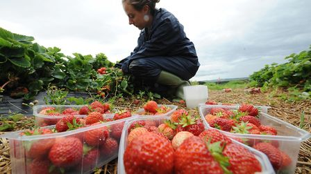 A worker in the fields picking strawberries. Photograph: Owen Humphreys/PA.