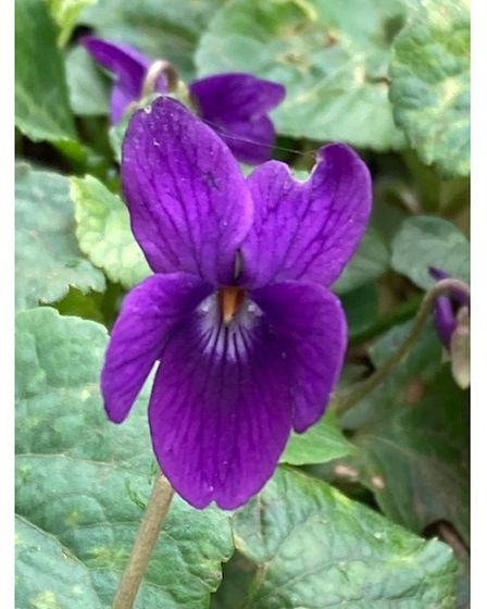 Another harbinger of spring is the low growing violet.