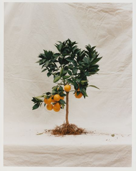 The bitter orange tree is the centrepiece of the Spring 21 fragrance from Somerset Perfumery Ffern