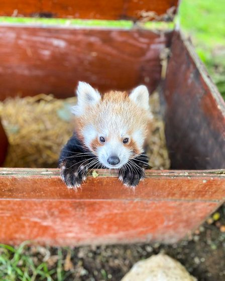 Red panda cub Nilo pops out to say hello at Whipsnade Zoo.