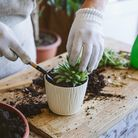 A woman repotting an indoor succulant