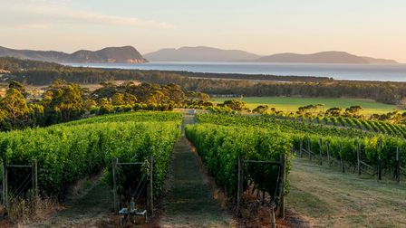 Vines with a sea view in Tasmania