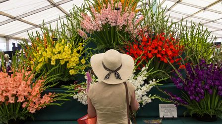 A visitor looks at a gladioli display in the RHS Floral Marquee at the RHS Flower Show Tatton Park