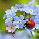 ladybug, ladybird on forget me not flowers