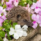 Hedgehog, (Scientific name: Erinaceus Europaeus) Wild, native, European hedgehog, foraging in colou