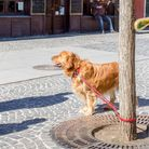 Golden Retriever dog, tied to a tree and waiting for its owner, the view from the cafe window
