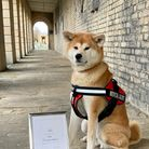 Kin, a six year old Japanese Akita Inu and medical alert dog from Islington