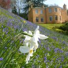 Daffodils and bluebells in Quarry Bank Mill, Styal