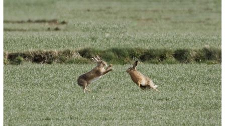 Andy Cronk's image of March hares!