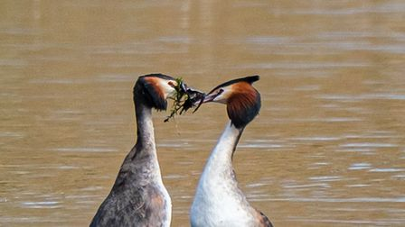 Ann Miles took this photograph of a pair of Great Crested Grebes at Paxton Pits.