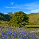 Bluebells at Rannerdale on the shore of Crummock Water in the English Lake District.