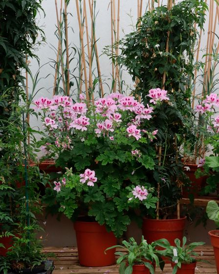The glasshouses at Stowell Park produce pot plants for the house, and carnations for buttonholes