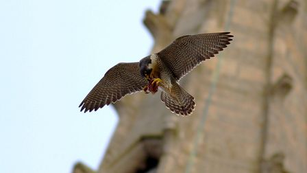 The Female Norwich Peregrine with food glides past the magnificent Norwich Cathedral