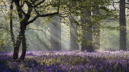 Rays of sunlight burst through the forest canopy onto the common bluebells growing in abundance bene