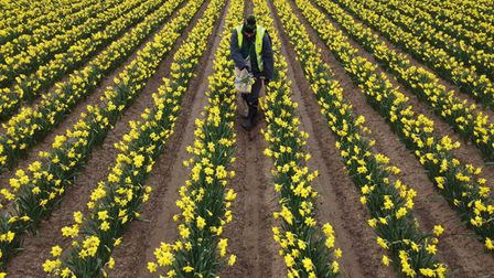 A worker rogues a field of daffodils at Taylors Bulbs near Holbeach in Lincolnshire, where the fourt