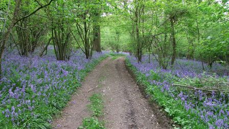 A path leading through Minterne Seat Coppice that is blanketed with vibrant Bluebells