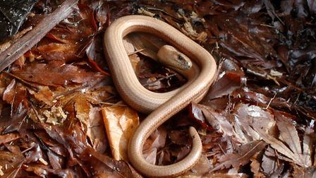A slow worm happy in the compost heap