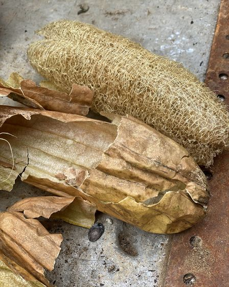The fibrous interior of the luffa plant fruit.