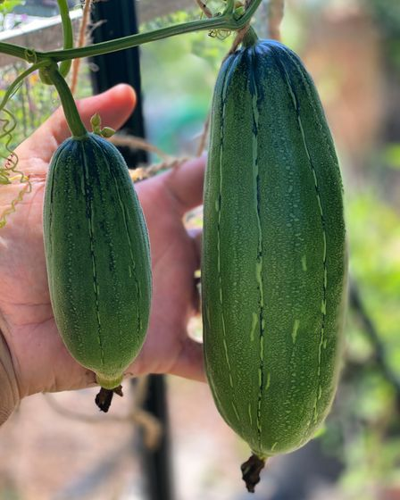 The fruits of the luffa plant look a lot like courgettes.
