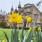 Daffodils at Knebworth House. Knebworth Park will be opening its gardens this Easter.
