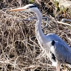 Judith Johnson captured this image of a heron which she took at the Riverside Park in St Neots.