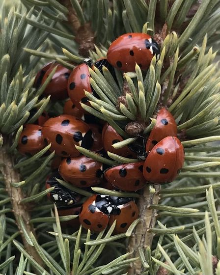 David Pask sent us this image of ladybirds in Fenstanton.