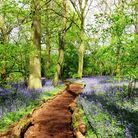 Little Wix Woods with bluebells