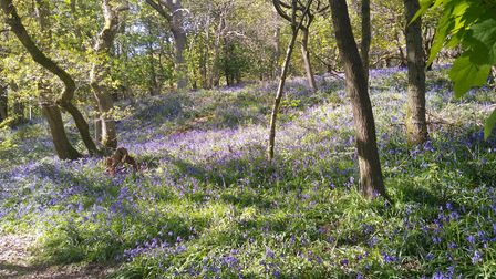 Clough Wood is well known for its display of bluebells