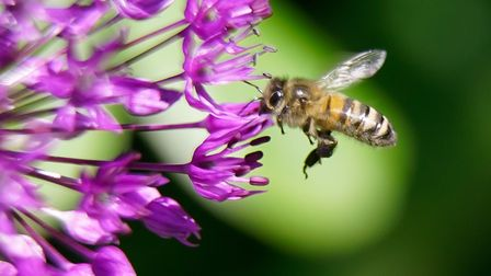 Honey Bee on a flower close up macro photography