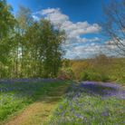 The Bluebells of Arger Fen & Spouse's Vale