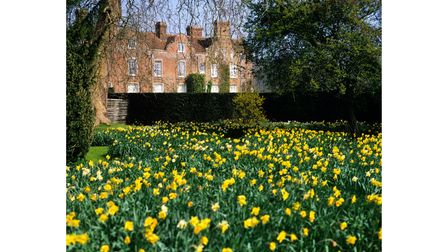 Daffodils growing in the grounds of Godinton, Kent