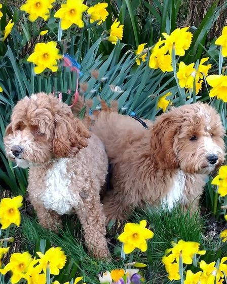 Two brown and white cavapoos in the daffodils