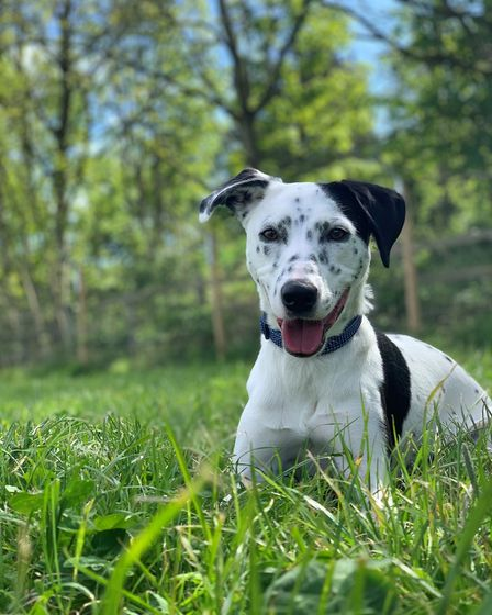 A black and white dalmation x border collie in the grass