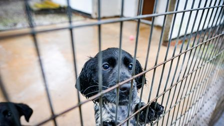 Springer spaniel Befa, who was the 1,500th puppy to be rescued by Dogs Trust