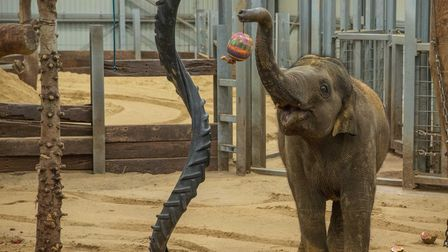 Four-year-old Elizabeth is the youngest of ZSL Whipsnade Zoo's herd of endangered Asian elephants