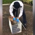 RSPCA animal rescue officer Nick Jonas frees the fox with a plastic bottle stuck on its head