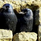 Gerry Brown took this image of a pair of Jackdaws at the church in Wistow.
