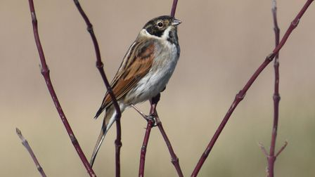 This stunning image of a Reed Bunting was captured by Richard Brown.