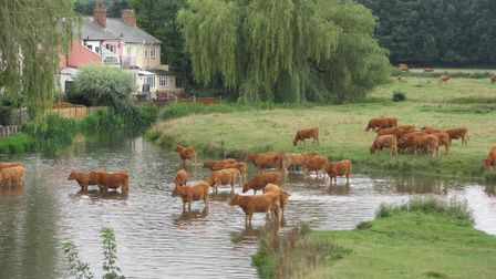 Cattle at Sudbury water meadows