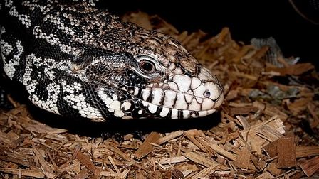 Thiago the Argentine black and white tegu, who belongs to Freddie Parker from Hatfield
