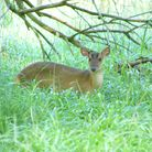 Muntjac deer standing in grass near a tree